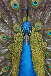peados the peacock
